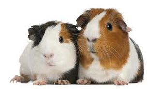 Caring For Your Guinea Pig! - Welcome to